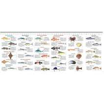 Fish & Sealife Identification Guides :Saltwater Sport Fish of the Pacific: San Francisco to Cabo San Lucas FIELD GUIDE
