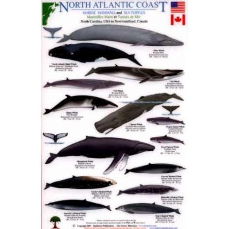 Fish & Sealife Identification Guides :North Atlantic Coast: Marine Mammals and Sea Turtles North Carolina, USA to Newfoundland, Canada